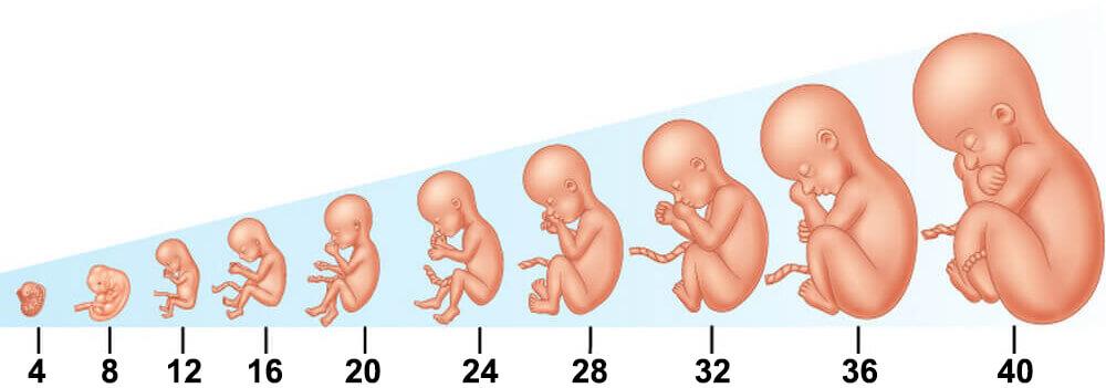 حاسبة الحمل بالاشهر افضل 1